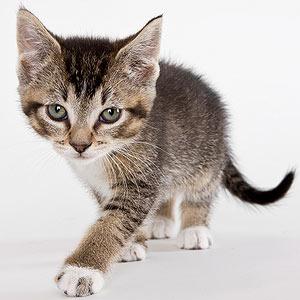 fluffy munchkin cats